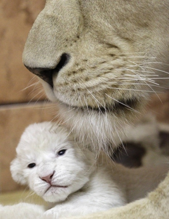 Rare white lion cubs make debut at Serbian zoo 02