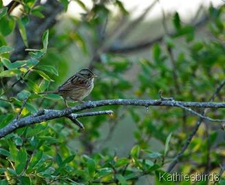9. swamp sparrow-kab