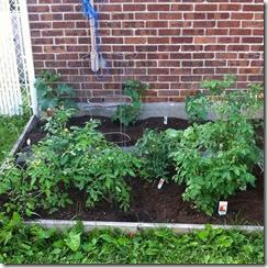 tomatoesjune