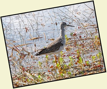 13d2 - Ride back to visitor center - Lesser Yellowlegs