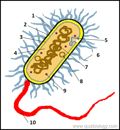 Multiple choice diagram quiz on bacterial cell biology multiple 1 in gram negative bacteria cell wall is sorrounded by a polysaccharide layer which is numbered as 1 in the diagram cell membrane cell wall capsule ccuart Choice Image