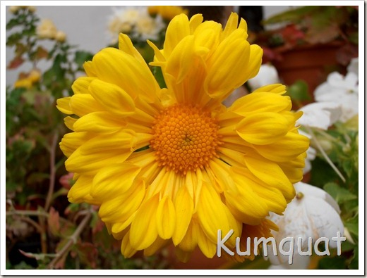crisantemo 6