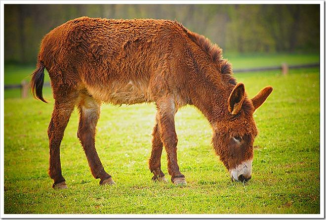 mule-public-domain-picture (7)