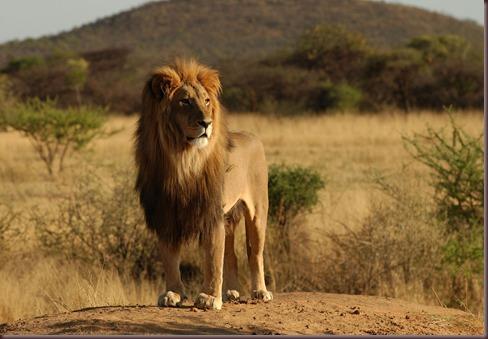 Amazing Animals Pictures Lion  (11)