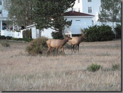 P1020367_resize - Elk at The Stanley Hotel - 9-10-12