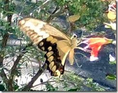 Giant Swallowtail 9-17-2010 9-03-47 AM 322x251