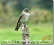 pibi oriental, fauna humedales Bogotá
