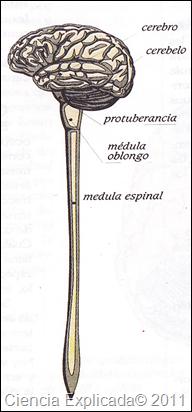 imagenes sistema nervioso central
