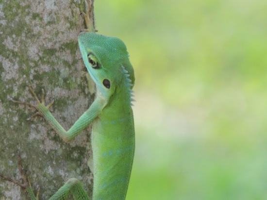 Green Crested Lizard (<i>Bronchocela cristatella</i>)