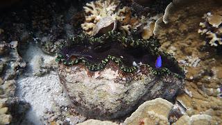 Giant Clam; Schnorcheln in der Lagune.