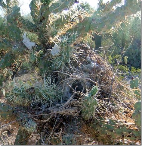 messy cactus wren nest 8-29-2011 7-54-56 AM 1884x1934