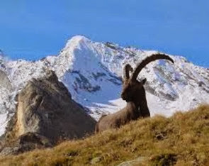 Amazing Pictures of Animals, Photo, Nature, Incredibel, Funny, Zoo, Alpine ibex, Capra ibex, Mammalia, Alex (11)
