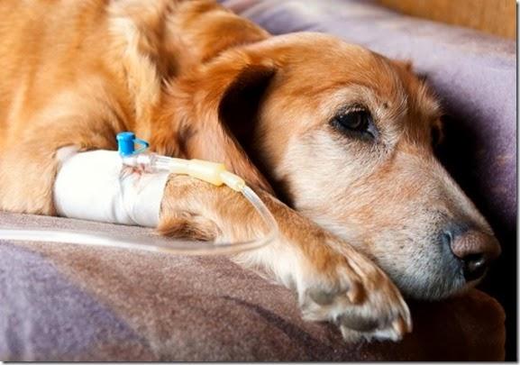 cane-ricevente