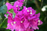Tropical Flowers Along The Road - Lifou, New Caledonia