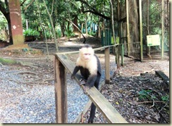 White faced monkey (Small)