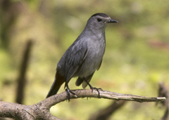 Gray Catbird Sabine Woods paint