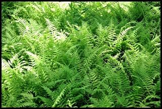 03q - Laird-Norton BoardwalkTrail - ferns