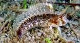 Méditerranée grotte sous-marine blennie cornue