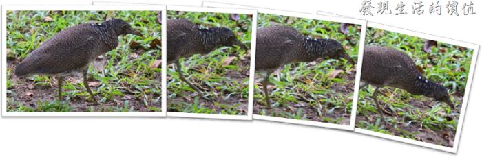 在台南巴克禮公園遇見慢條斯理的夜鷺