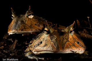 Surinam horned frogs Ceratphrys cornuta by Ian Markham