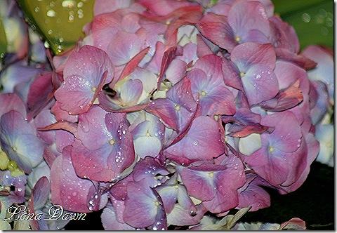 Hydrangea_Bloom