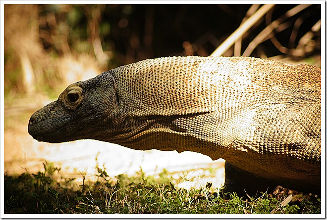public-domain-komodo-dragon-picture (3)