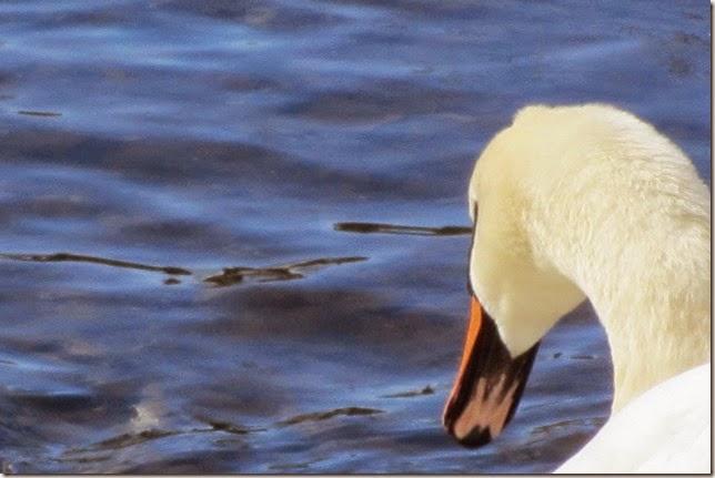 swans-20
