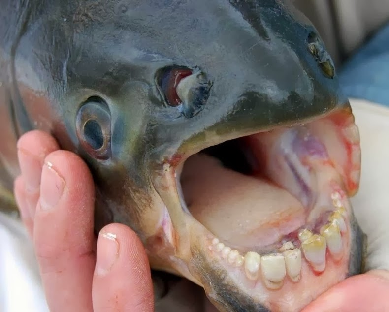 Pacu The Fish With Very Human Teeth Amusing Planet