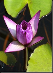 LAVENDER WATER LILY 11