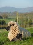 Lambing - Ayling 2.jpg