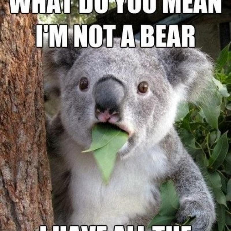 Alasan Koala Adalah Beruang