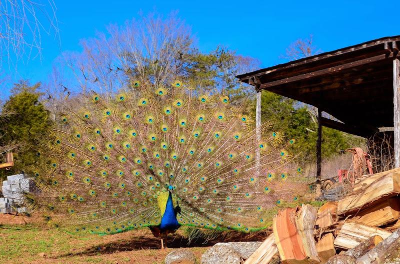 peacock-19454