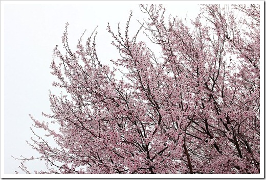 120228_Prunus-cerasifera-Krauter-Vesuvius_16
