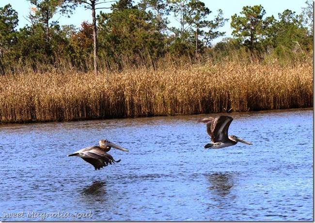 Pelicans in Tandem