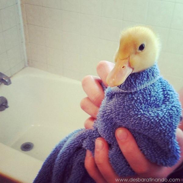 filhotes-patos-fofos-pequenos-desbaratinando (10)