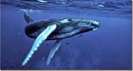 ballena jorobada imagen