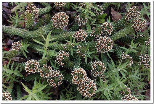 120414_RBG_Euphorbia-caput-medusae_05