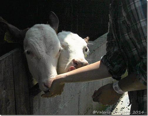 6-cows