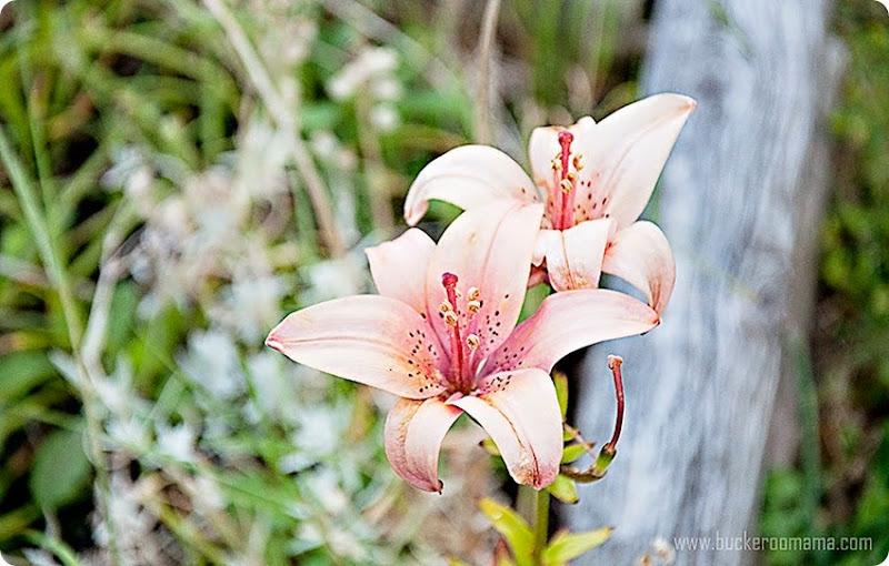 Lilies-(1)