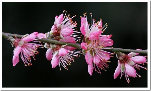 110316_nectarine_tree_06