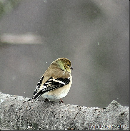 Goldfinch_Feb