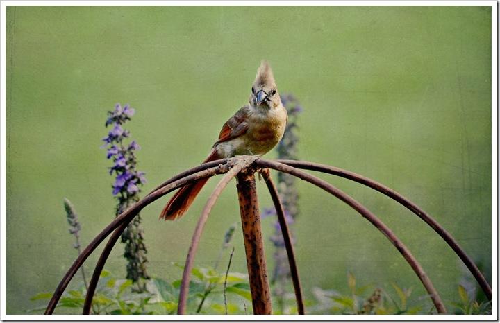 redbird sz 014