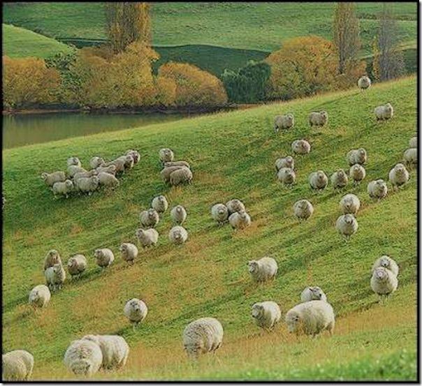 Ovelhas Pastando (10)
