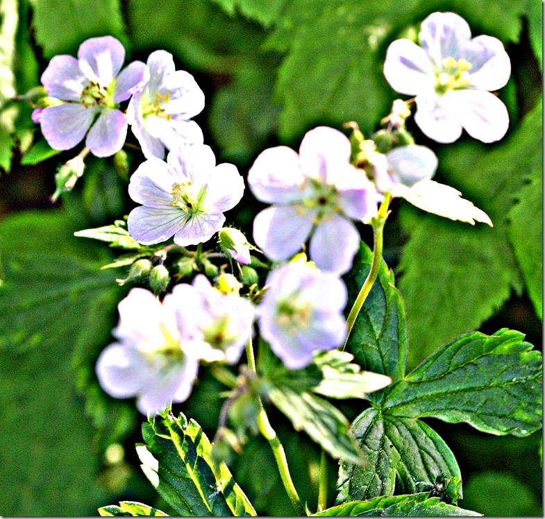 hvit geranium2