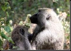 October 22, 2012 baboon mom & baby