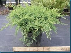 juniperus%20chinensis%20pfitzerana%20kaylay4