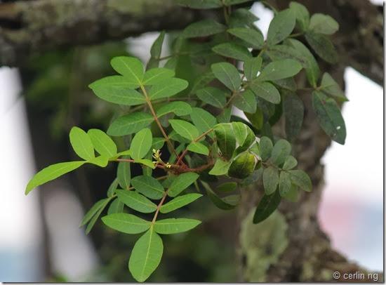 schinus terebinthifolius (2)