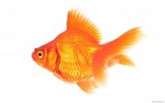 Goldfish-1440x900-300x187