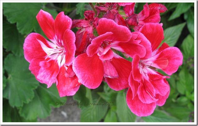 03-11-b-day-geranium2