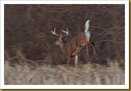 - White-tailed Deer -buck- Motion ROT_5011 January 29, 2012 NIKON D3S